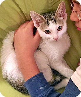 Domestic Shorthair Kitten for adoption in Brooklyn, New York - Cisco the Friendliest Kitten