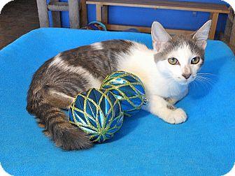 Bengal Kitten for adoption in Glendale, Arizona - Oscar