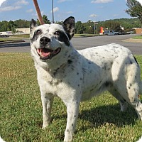 Australian Cattle Dog Mix Dog for adoption in Manchester, New Hampshire - Panda