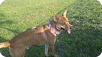 German Shepherd Dog/Retriever (Unknown Type) Mix Dog for adoption in Youngsville, North Carolina - Peanut Butter
