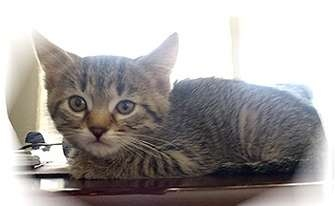 Domestic Shorthair Kitten for adoption in Montgomery, Illinois - Fate
