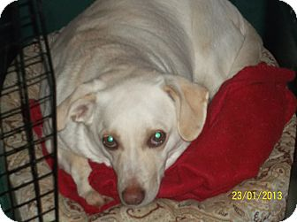 Chihuahua/Dachshund Mix Dog for adoption in Farmingtoon, Missouri - Jenna