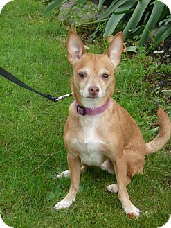 Chihuahua Dog for adoption in Stroudsburg, Pennsylvania - Beans