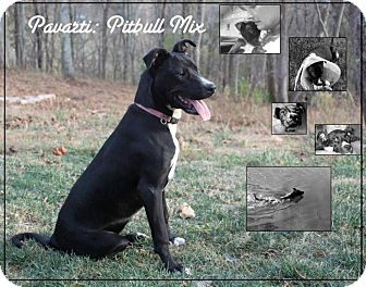 Pit Bull Terrier/Border Collie Mix Dog for adoption in Bluemont, Virginia - PARVARTI (Pronounced Poverty)
