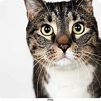 Adopt A Pet :: Petra - New York, NY