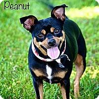 Adopt A Pet :: Peanut - Albany, NY