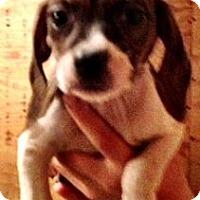 Adopt A Pet :: Paige - Chicago, IL