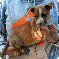Adopt A Pet :: Daryl - Stamford, CT