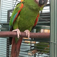 Macaw for adoption in Edgerton, Wisconsin - Doc