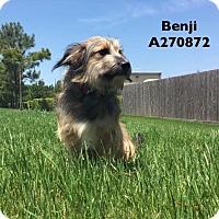Adopt A Pet :: BENJI - Conroe, TX
