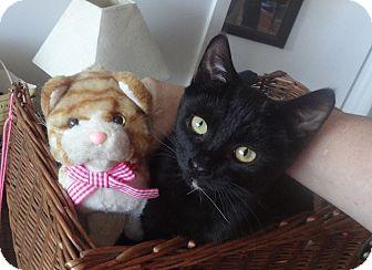 Bombay Kitten for adoption in New York, New York - RONRON -Purring LAP KITTY