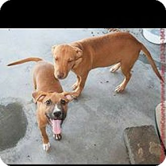 Carolina Dog Mix Puppy for adoption in Red Lion, Pennsylvania - Rolo and Rascal