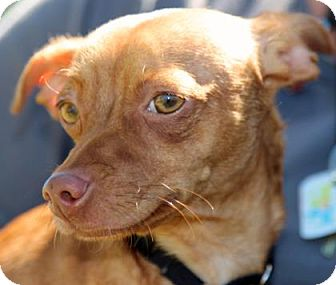 Chihuahua/Dachshund Mix Dog for adoption in Palm Springs, California - Milo