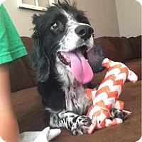 Cocker Spaniel Mix Dog for adoption in Newport, Kentucky - Matt