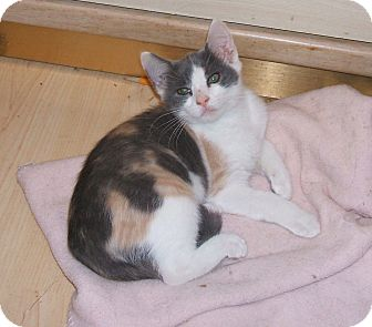 Domestic Shorthair Kitten for adoption in Acworth, Georgia - JEWEL