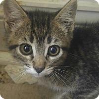 Domestic Shorthair Kitten for adoption in Loveland, Colorado - Tabitha