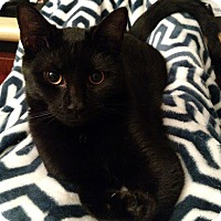 Adopt A Pet :: Frederick (bonded with Cambridge) - Alexandria, VA
