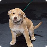 Adopt A Pet :: Cindy Brady - Waterbury, CT