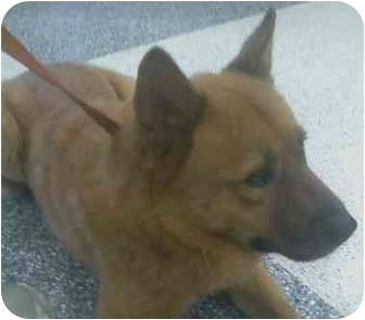 Chow Chow/Shepherd (Unknown Type) Mix Dog for adoption in Los Alamitos, California - Bubba