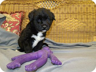 Border Collie Puppy for adoption in Gadsden, Alabama - Alfalfa