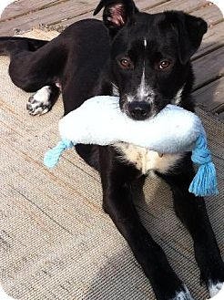 Border Collie/Spaniel (Unknown Type) Mix Dog for adoption in CHICAGO, Illinois - OLIVIA