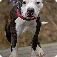Adopt A Pet :: Stormy-URGENT - Pottsville, PA