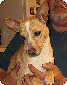 Corgi/Dachshund Mix Dog for adoption in Rochester, New York - Sammy