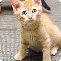 Adopt A Pet :: Shellington - Chicago, IL