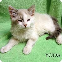 Adopt A Pet :: Yoda - Bentonville, AR