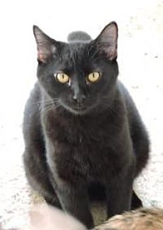 Domestic Shorthair Cat for adoption in McKinney, Texas - Abe