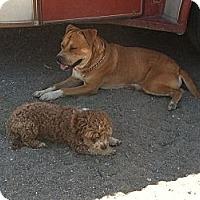 Adopt A Pet :: Quinn - Phelan, CA