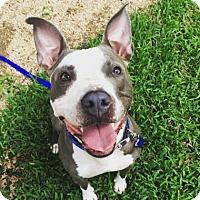 Pit Bull Terrier Mix Dog for adoption in Austin, Texas - Fennec (aka Warren Hood)