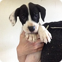 Adopt A Pet :: MILEY LITTER- Chance - Pompton lakes, NJ