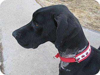 Great Dane Dog for adoption in El Paso, Texas - Olivia