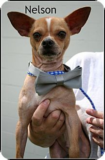 Chihuahua Mix Dog for adoption in Houston, Texas - Nelson