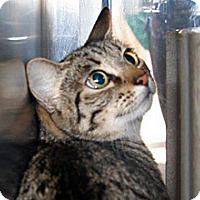 Domestic Shorthair Cat for adoption in Wildomar, California - Miranda
