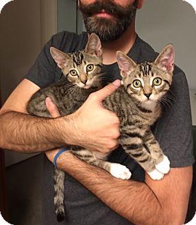 American Shorthair Kitten for adoption in Pasadena, California - Sage