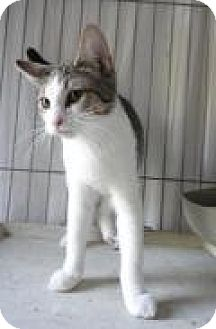 Domestic Shorthair Cat for adoption in Stuart, Virginia - Jonathan