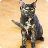 Domestic Shorthair Kitten for adoption in Nashville, Tennessee - Black Canary