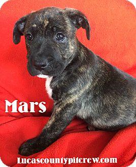American Pit Bull Terrier/Labrador Retriever Mix Puppy for adoption in Toledo, Ohio - Mars