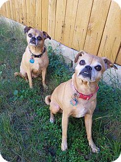 Pug/Chihuahua Mix Dog for adoption in Von Ormy, Texas - Emma & Matttie