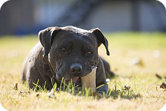 Mixed Breed (Large)/Mastiff Mix Dog for adoption in Baltimore, Maryland - Hawkeye