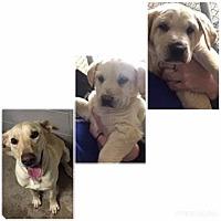 Adopt A Pet :: Nickels  (Tina Spay's pup) - Hanover, PA