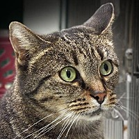 Domestic Shorthair Cat for adoption in Toledo, Ohio - MINDY
