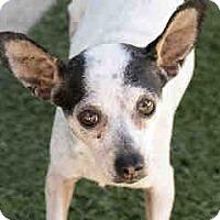 Adopt A Pet :: Olivia - Agoura, CA