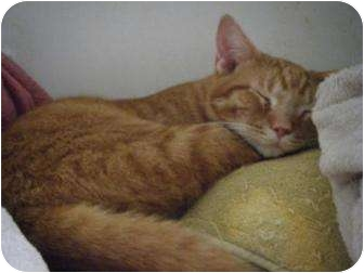 Domestic Shorthair Cat for adoption in Corydon, Indiana - Frederick