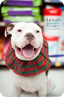 American Bulldog/Terrier (Unknown Type, Medium) Mix Dog for adoption in Detroit, Michigan - Jaxon-Adopted!