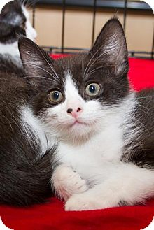 Domestic Shorthair Kitten for adoption in Irvine, California - Eddie