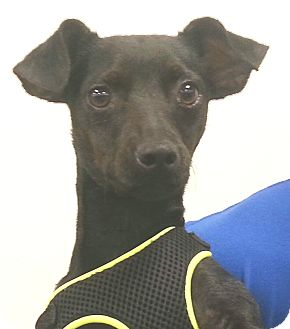 Italian Greyhound Mix Puppy for adoption in Orlando, Florida - Josie