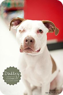 American Pit Bull Terrier Mix Dog for adoption in Detroit, Michigan - Dudley-Adopted!
